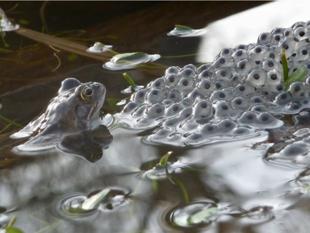 It was a sunny day and I went down to the end of my garden to the pond. I lay down and tried not to scare the frogs. I waited for about 20 minutes and there were about 10 frogs poking their heads in and out of the water. I then saw the perfect picture of a frog and its frogspawn and I took the picture of it.  Source: Painswick, Gloucestershire, BW
