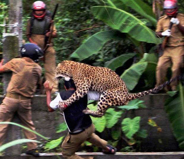 A leopard attacks a forest guard at Prakash Nagar village near Salugara, on the outskirts of Siliguri, India,on July 19, 2011. The leopard strayed into the village area and mauled several villagers, including three guards, before being caught by forest officials, according to news reports. The leopard, which suffered injuries caused by knives and batons, died later in the evening at a veterinary center. The forest guard being attacked was also injured. (AP Photo)