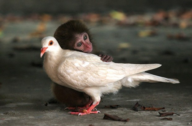 The-macaque-and-the-dove-002